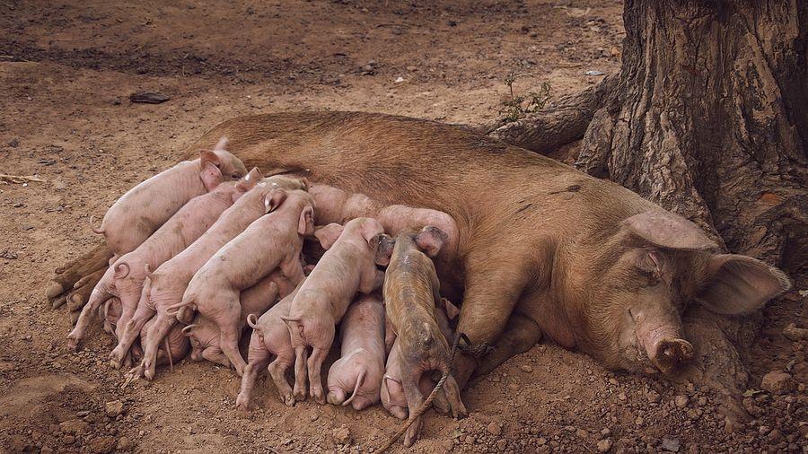 """Интересное о свиньях I Блог """"Всё о мини пигах"""""""