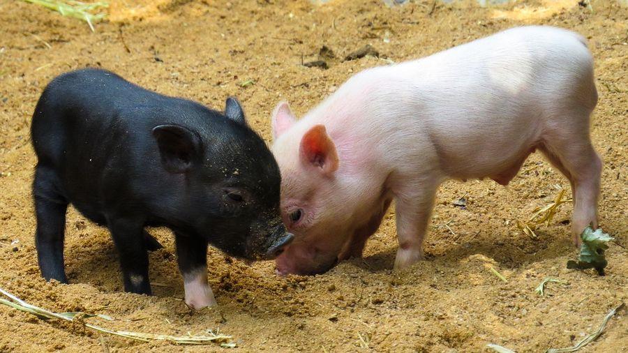 Карликовые мини свиньи