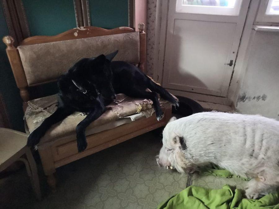 """Мини пиг и собака I Блог """"Всё о мини пигах"""""""