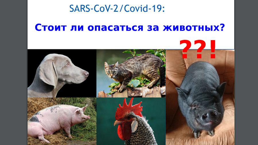 """SARS-CoV-2 и животные I Блог """"Всё о мини пигах"""""""