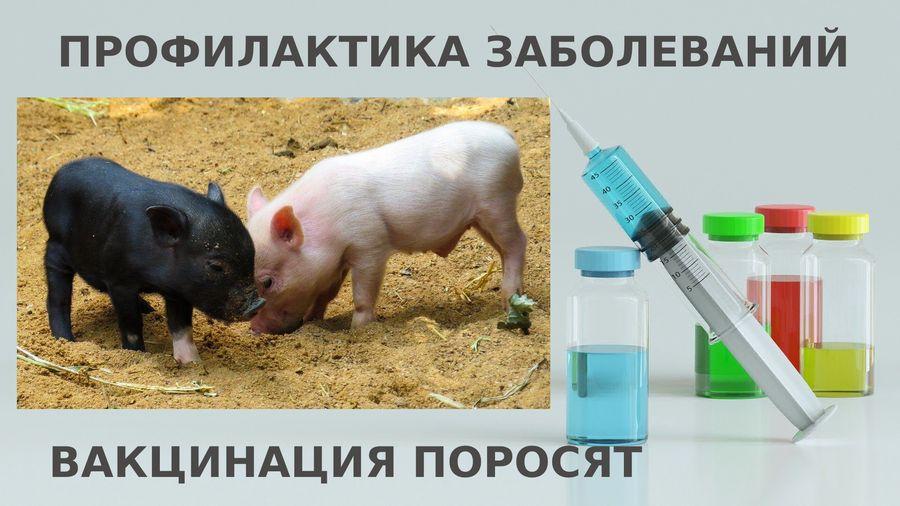 "Вакцинация поросят I Блог ""Всё о мини пигах"""