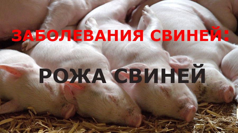 """Рожа свиней I Блог """"Всё о мини пигах"""""""