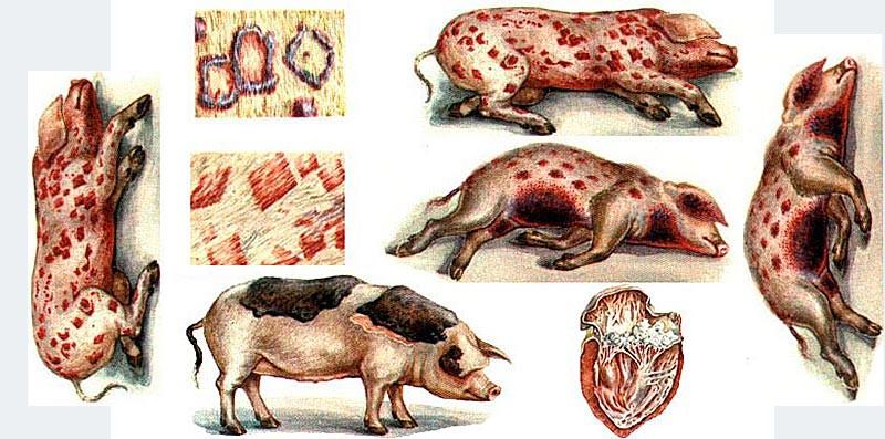 """Болезни свиней I Блог """"Всё о мини пигах"""""""