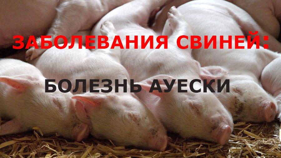 """Заболевания свиней I Блог """"Всё о мини пигах"""""""