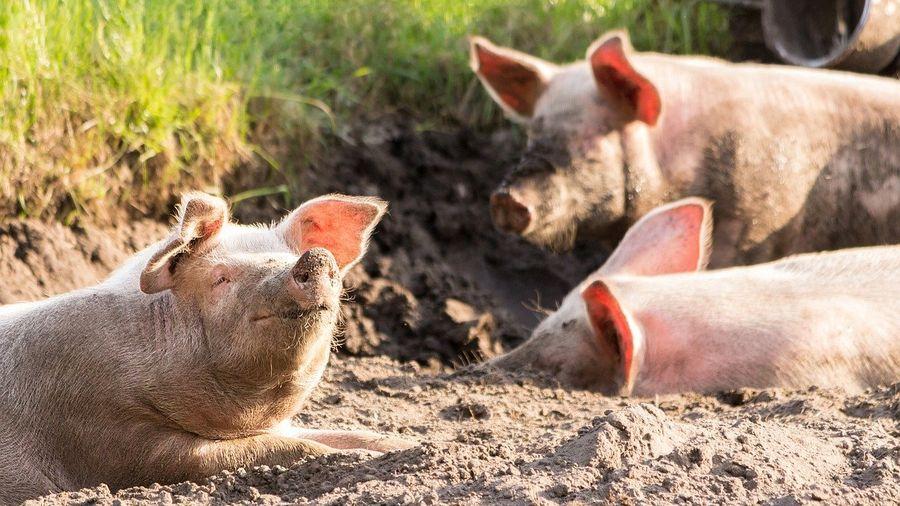 """Закон о содержании свиней 2021 I Сайт """"Всё о мини пигах"""""""